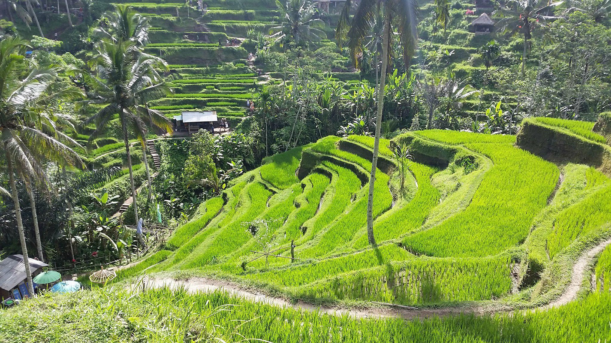 Фото рисовой террасы