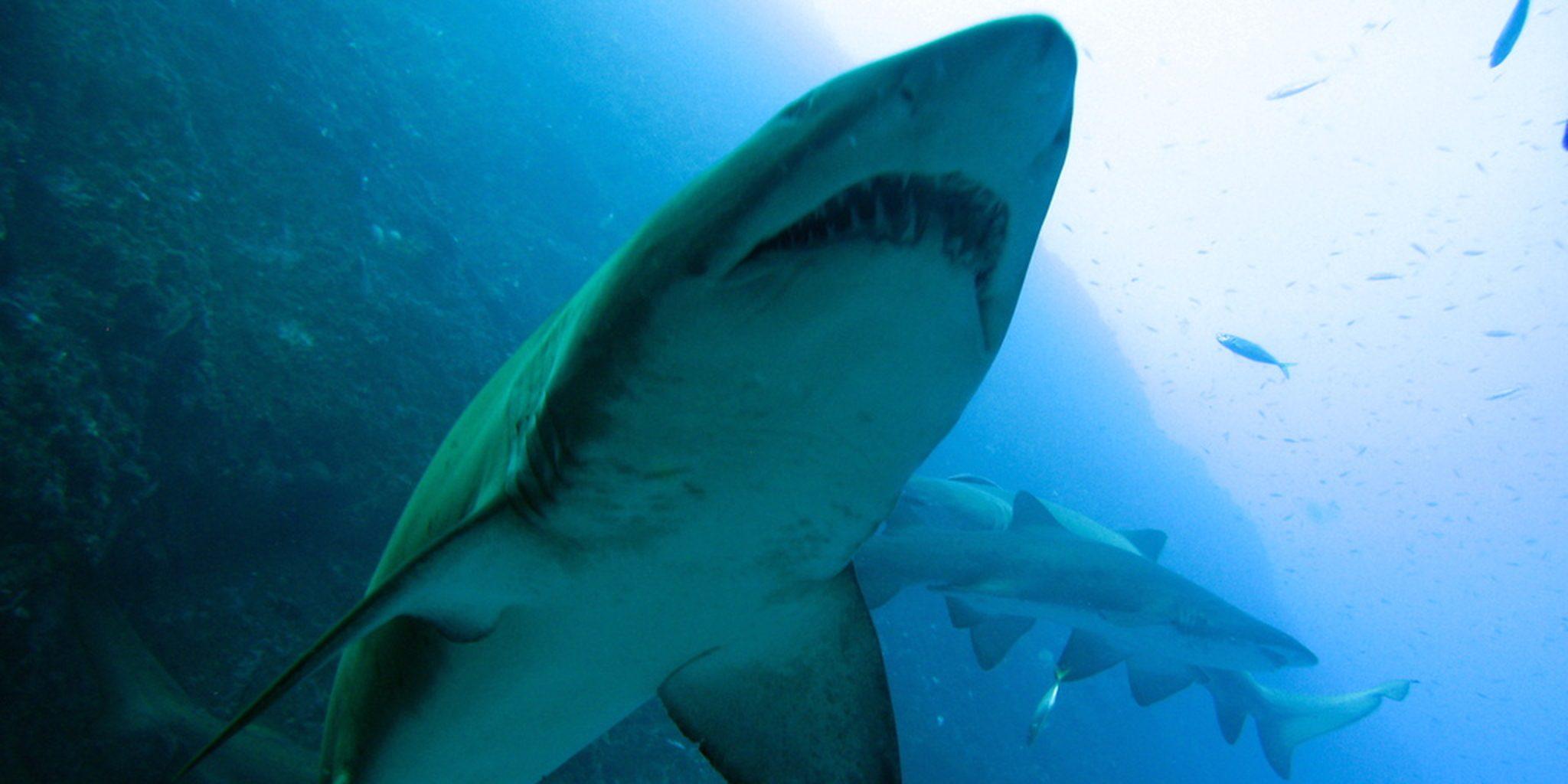 Акулы на Бали
