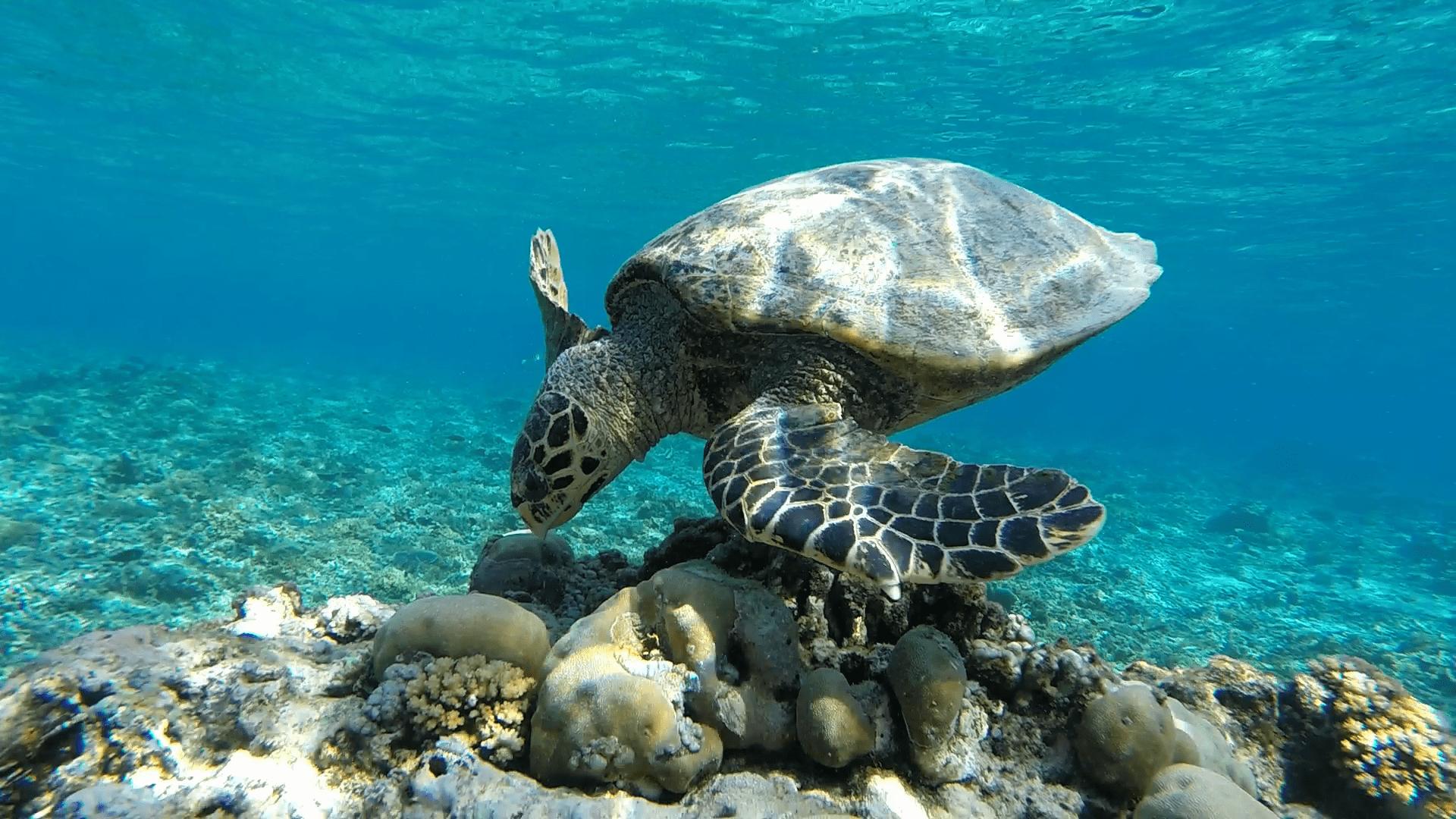 Балийские черепахи на Бали