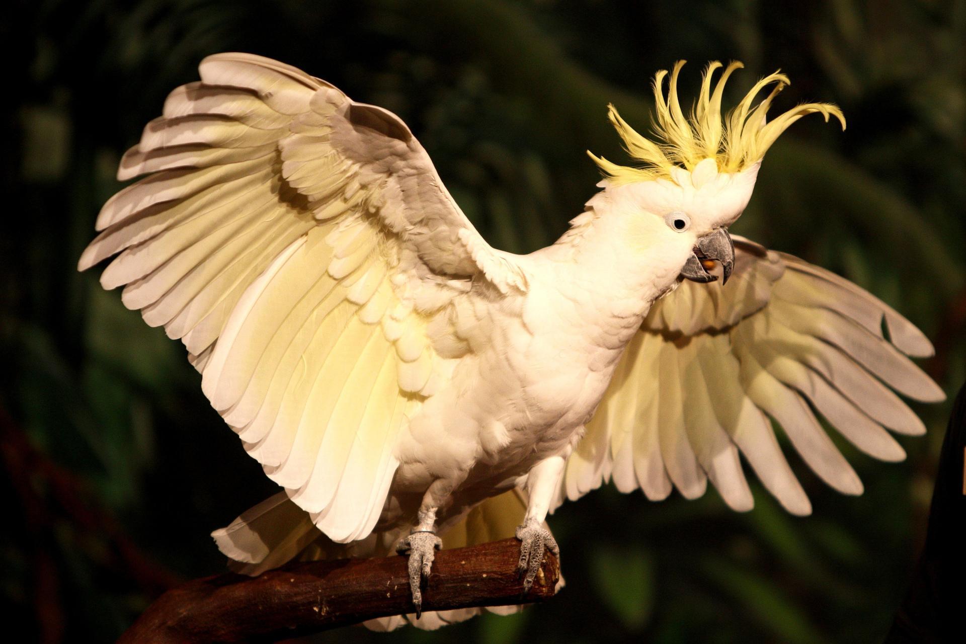 Желтохохлый Какаду на Бали