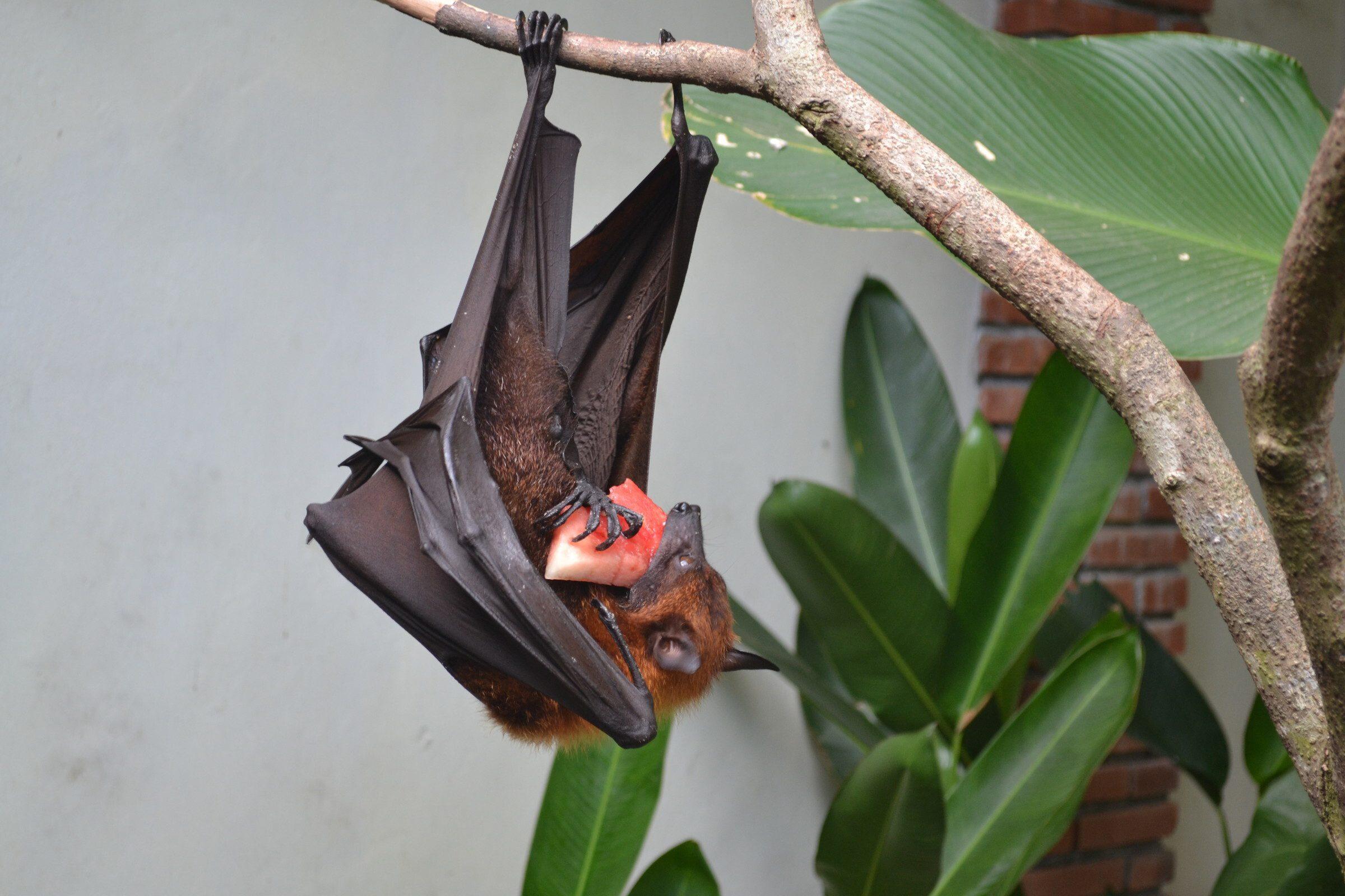 Летучая мышь на Бали