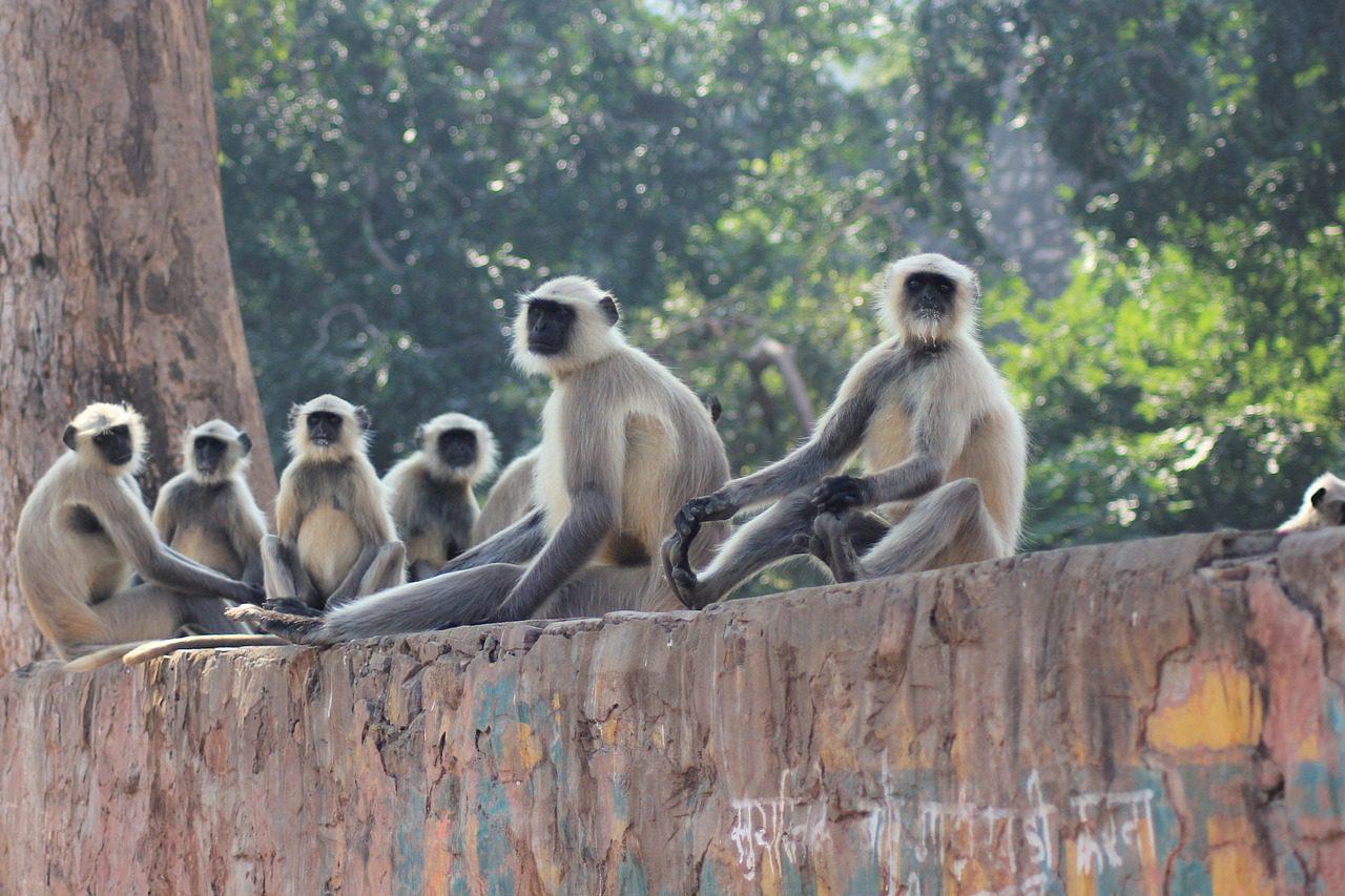 Группа приматов на Бали