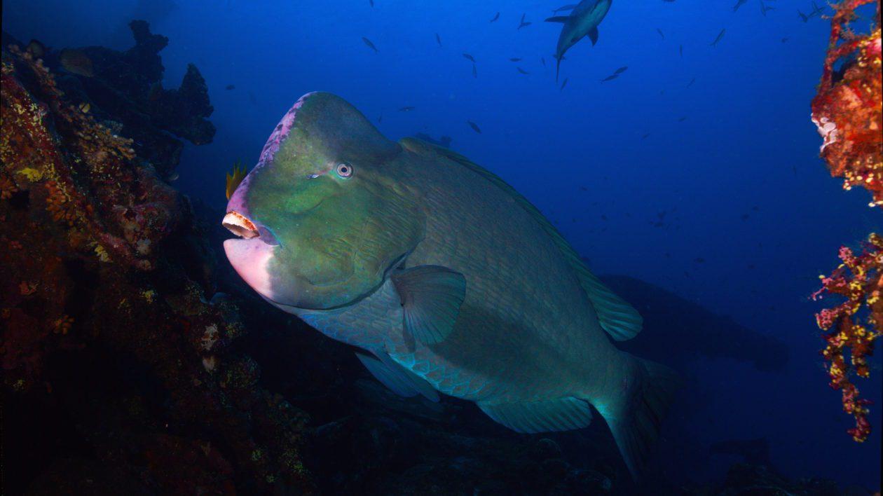 Шишколобная рыба на Бали