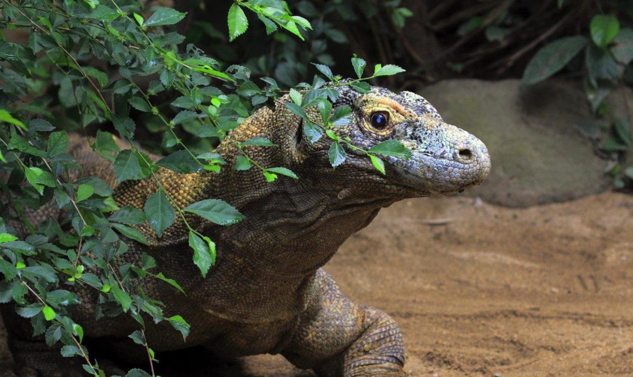 Яванский ящер на Бали