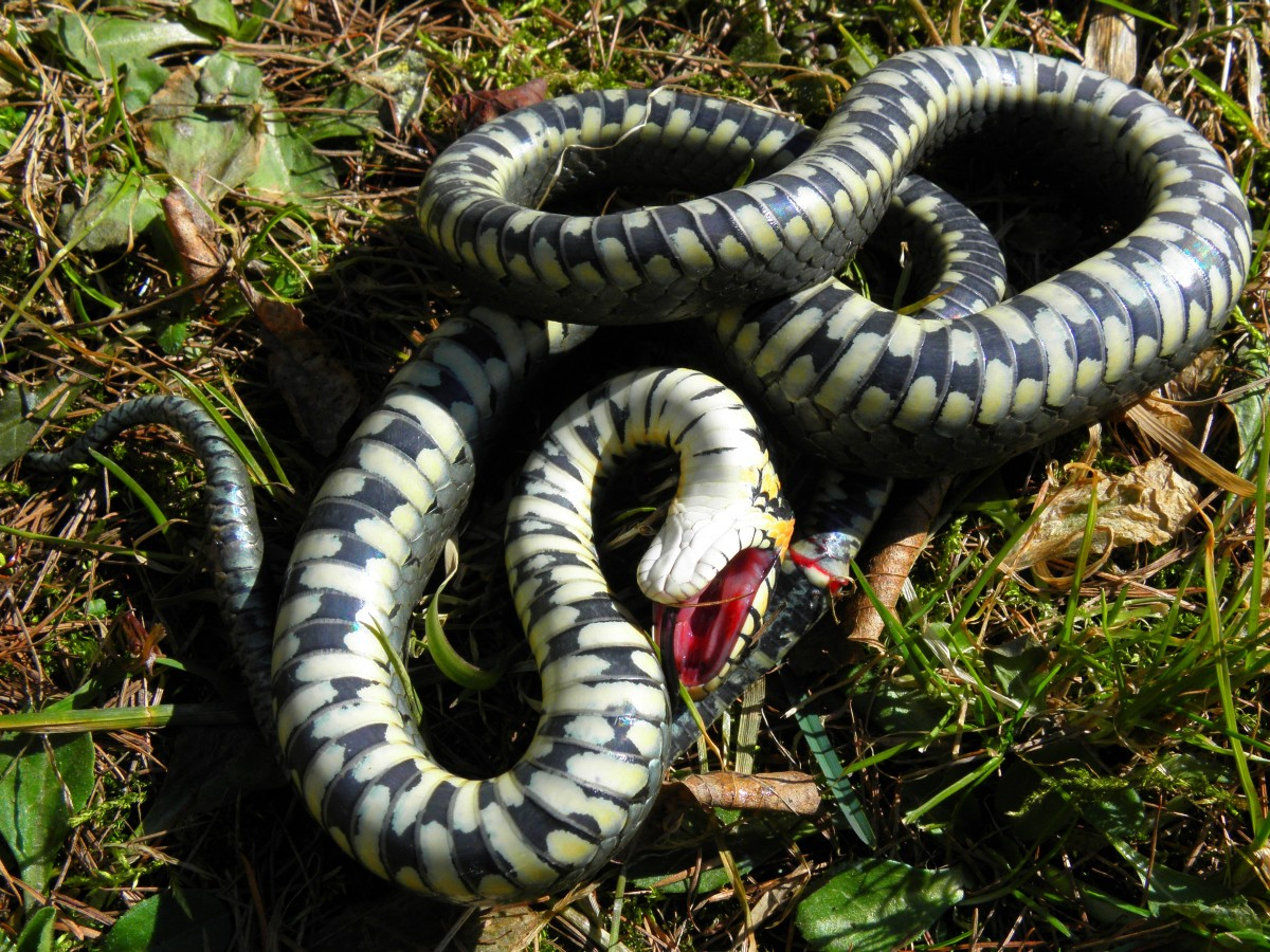 Неядовитые змеи