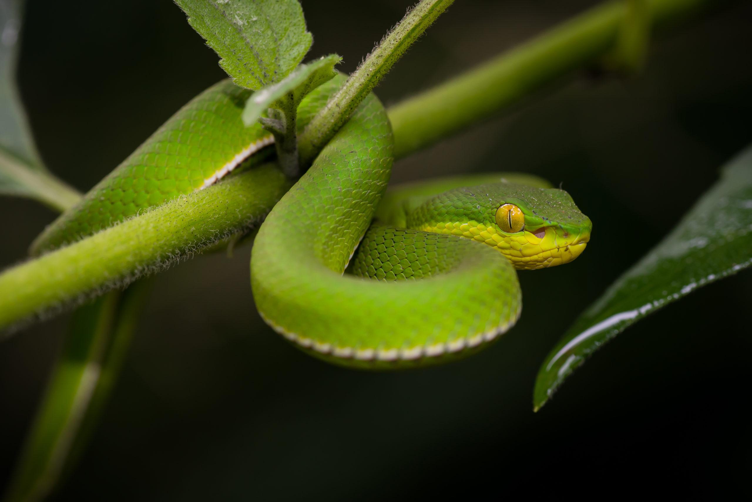 Опасный Зеленый Куфий