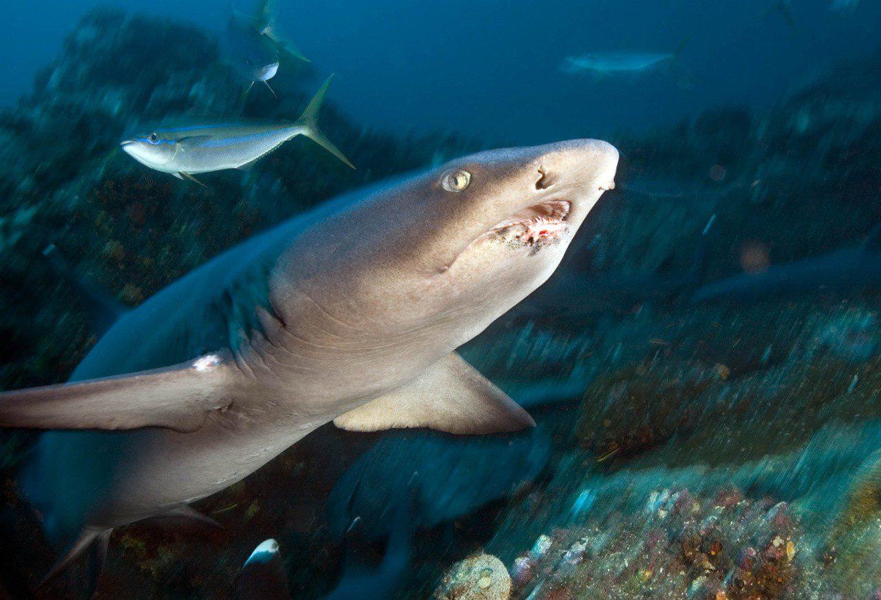 Так выглядит коралловая акула