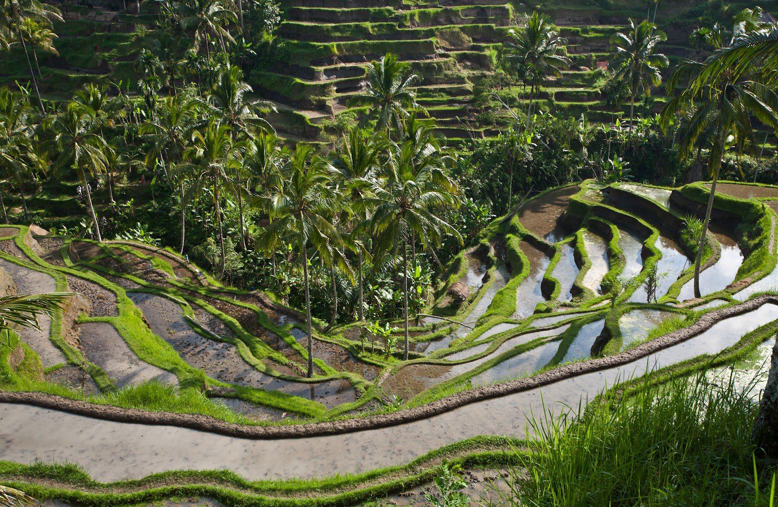На фото рисовые поля Тегалаланг