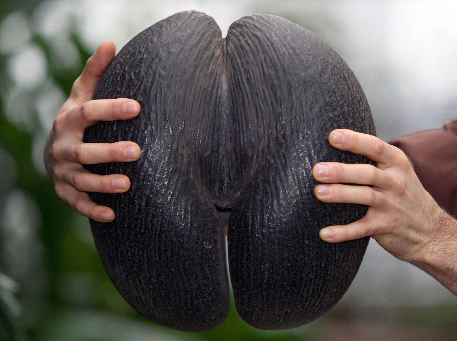Фото сейшельского ореха